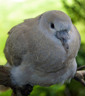 Young pigeon for breeding squabs
